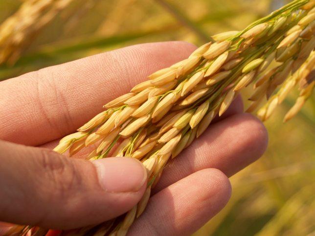 Wheat gluten gluten-free